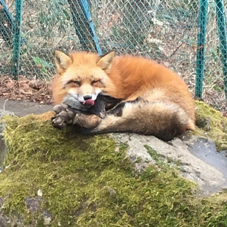 fox154.jpg