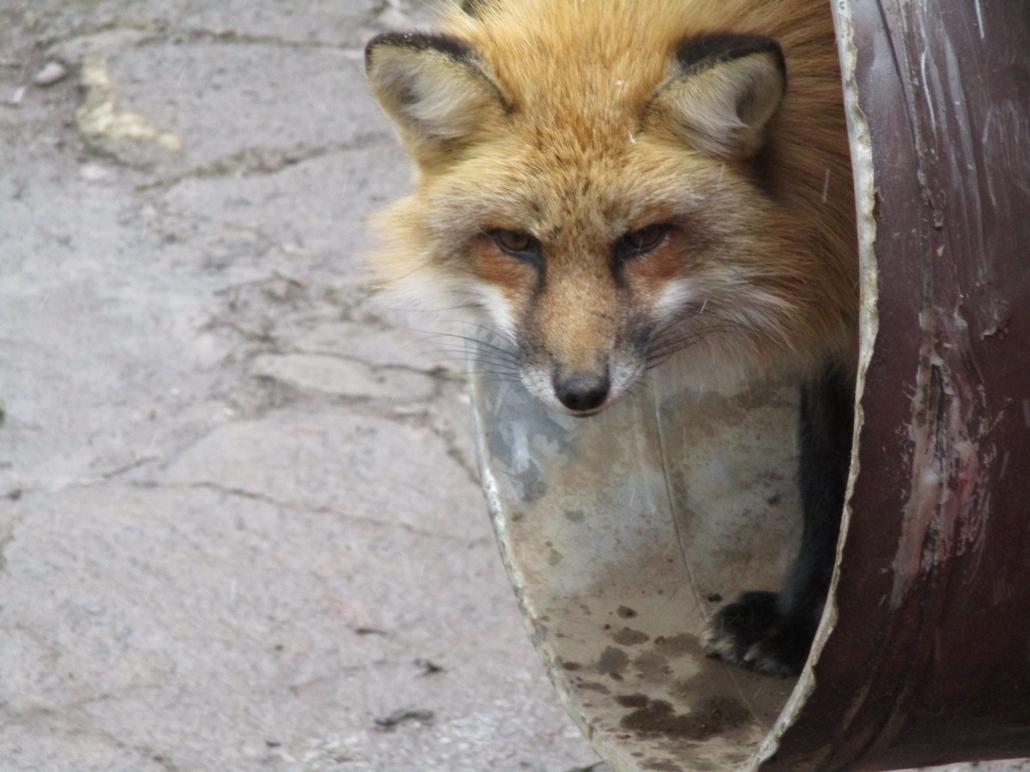 fox157.jpg
