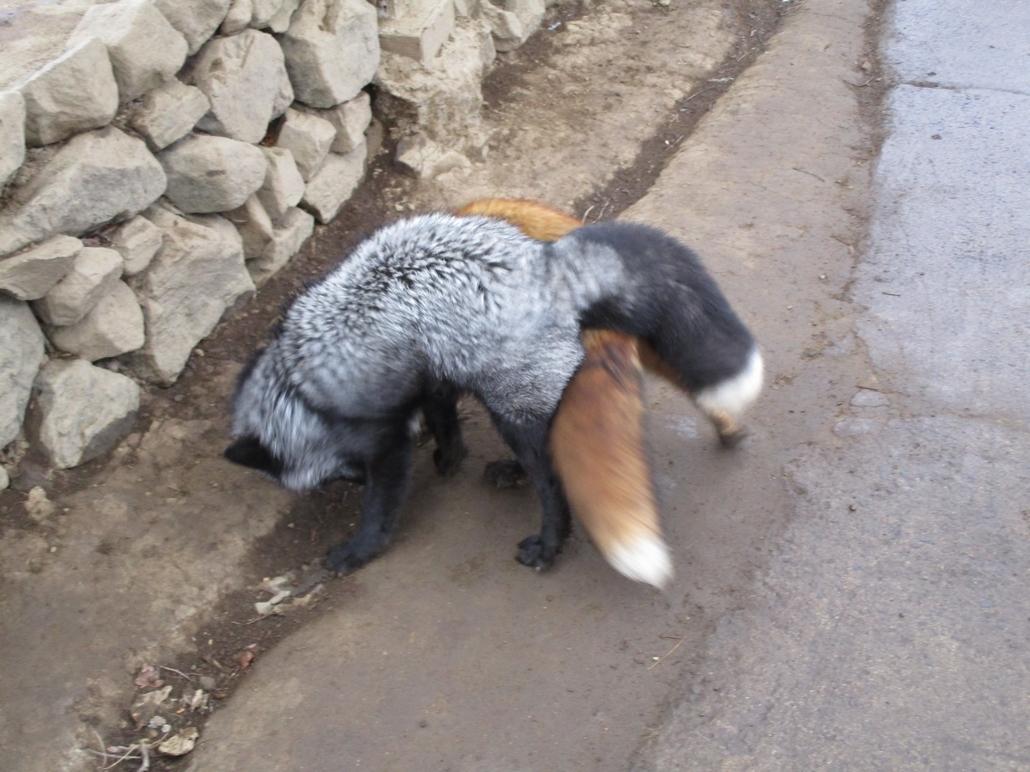 fox175.jpg