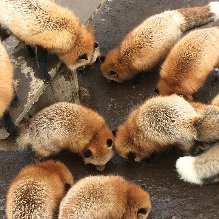 fox183.jpg