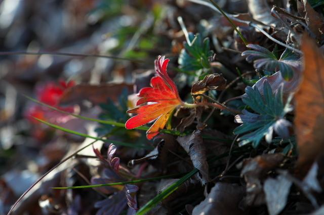 アケボノフウロの紅葉-03