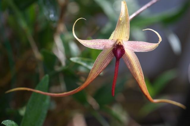 Bulbophyllum echinolabium-02