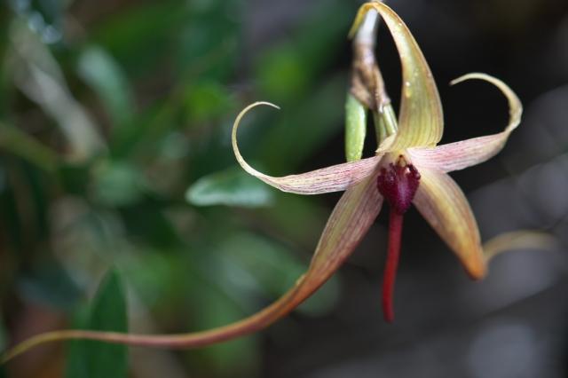 Bulbophyllum echinolabium-04