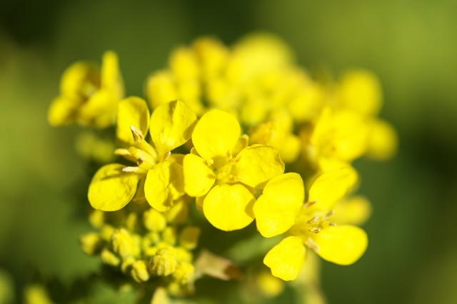 艶やかな菜の花-02