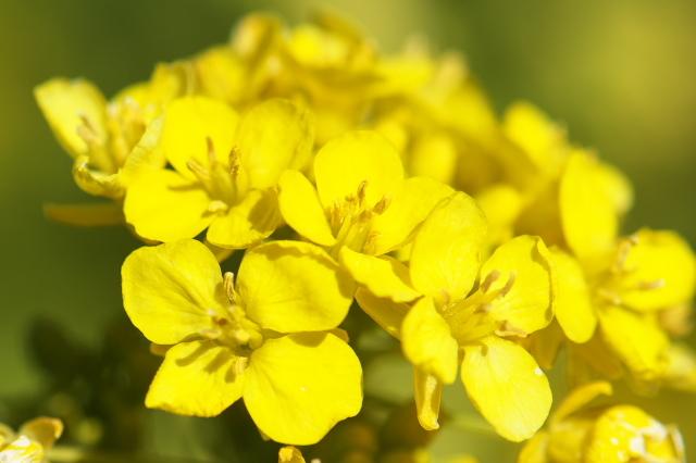艶やかな菜の花-01