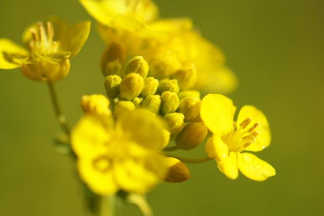 艶やかな菜の花-04
