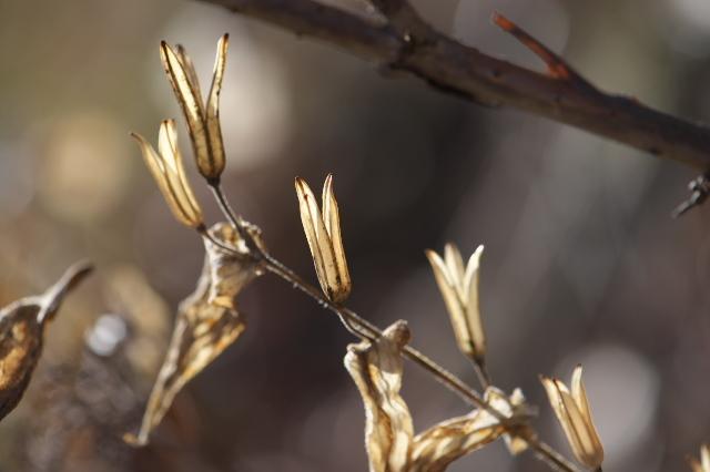 白花ホトトギスの種鞘-01