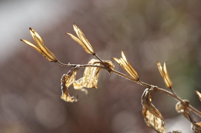 白花ホトトギスの種鞘-02