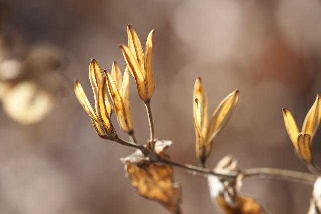 白花ホトトギスの種鞘-03