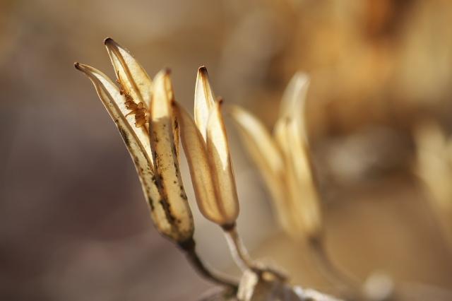 白花ホトトギスの種鞘-04
