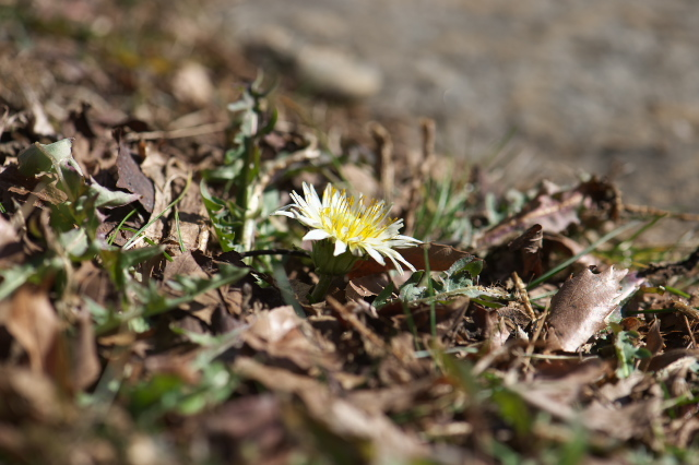 寒風の中、開花した白花タンポポ-01