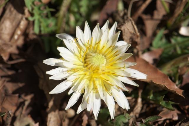 寒風の中、開花した白花タンポポ-02