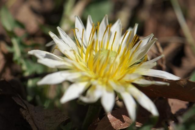寒風の中、開花した白花タンポポ-03