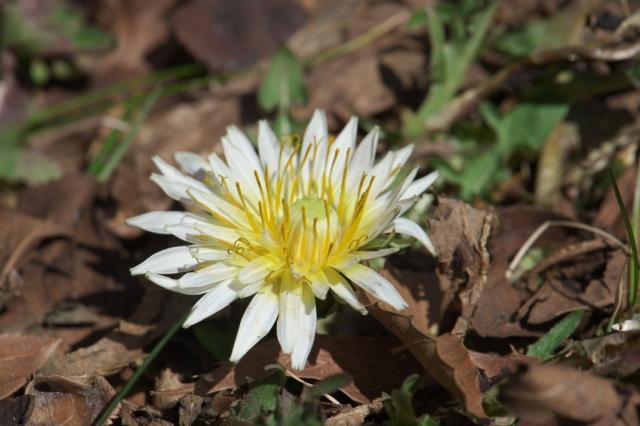 寒風の中、開花した白花タンポポ-04
