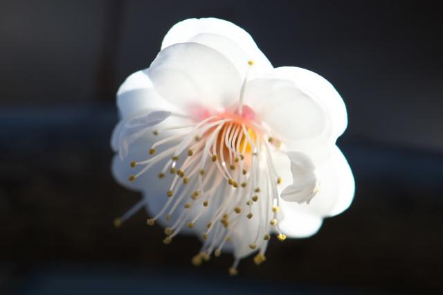 白加賀(梅)-03