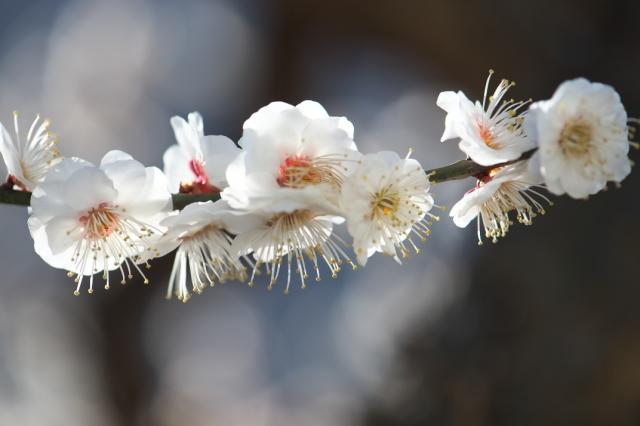 庭の梅・白加賀-01