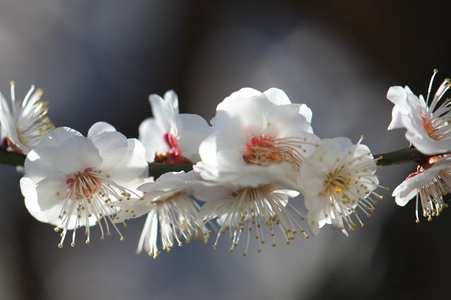 庭の梅・白加賀-02