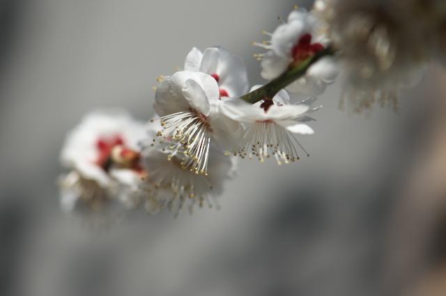 庭の梅・白加賀-03