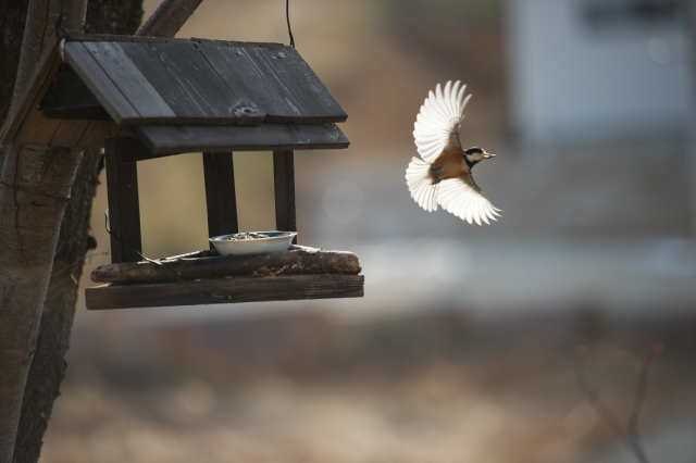 ヤマガラの飛翔-01