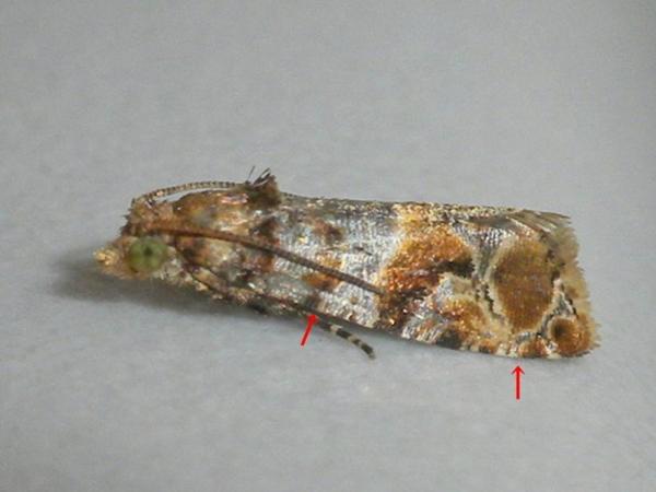 ホソバチビヒメハマキ
