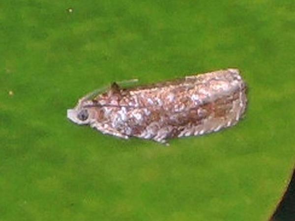 バラギンオビヒメハマキ
