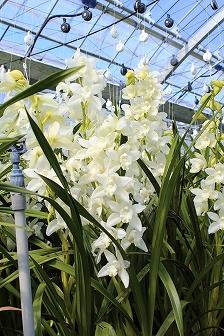 西岡の花農家 (3)