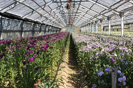 西岡の花農家 (10)