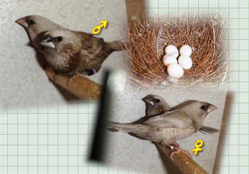 パール産卵