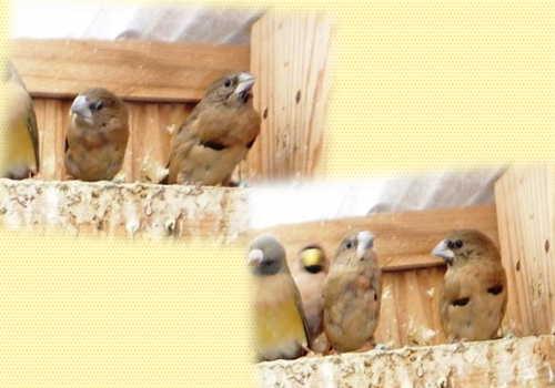 シマコキン換羽