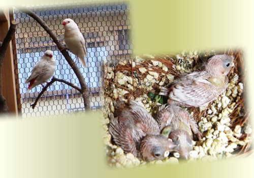 シルバー雛3羽