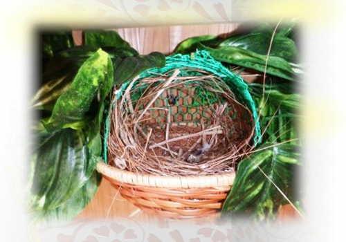 シマコキンの巣作り