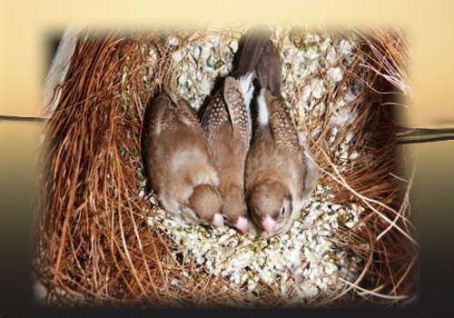 シナモン雛3羽