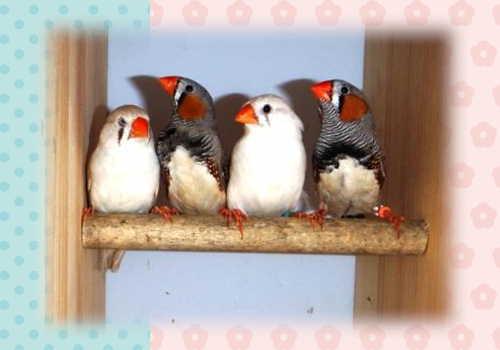 キンカチョウ4羽里親