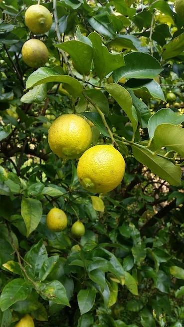 レモン2016・11・15