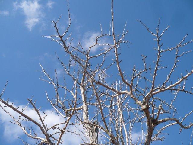 P1120924裸木