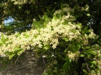 DSCN2039ピラカンサスの花