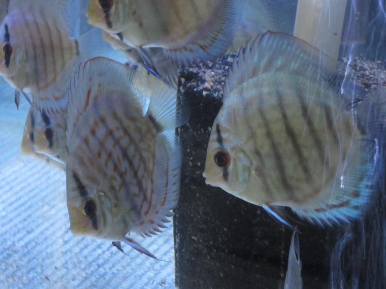 新JWSペアの幼魚