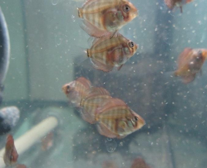 0112新Bi JWS稚魚