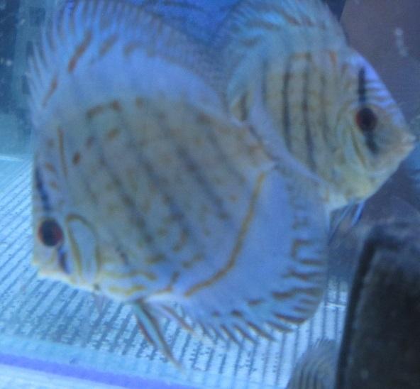新JWS幼魚