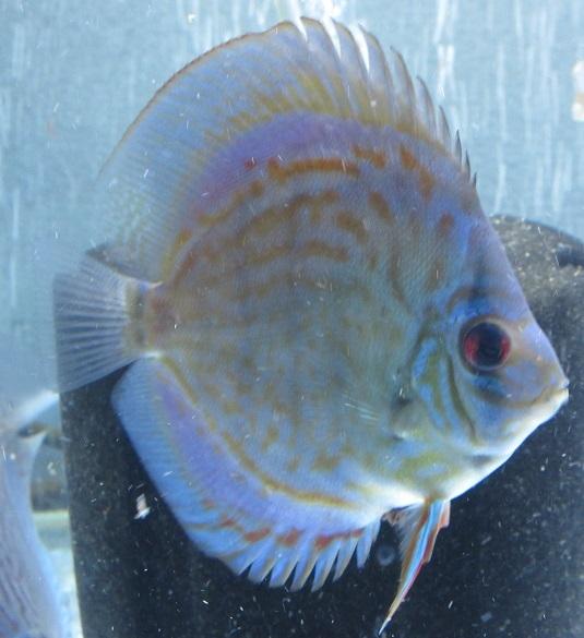 OJWSペア2幼魚