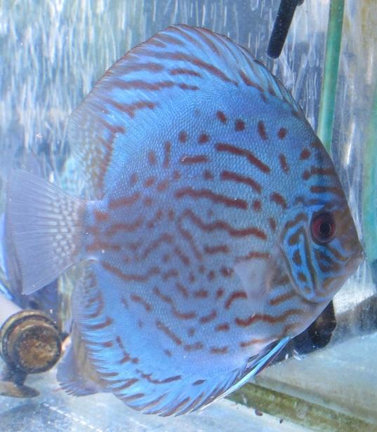 OJWS幼魚