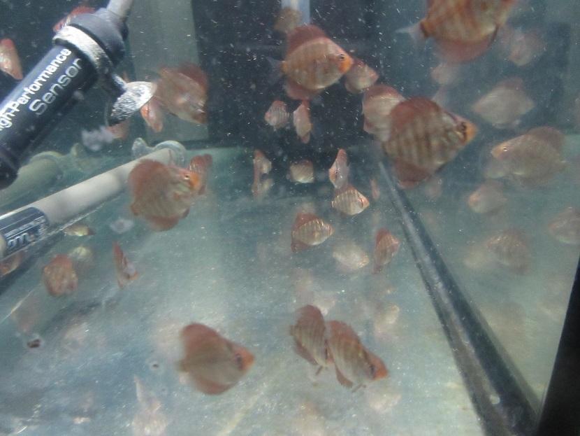 新Bi JWS稚魚 換水直後給餌