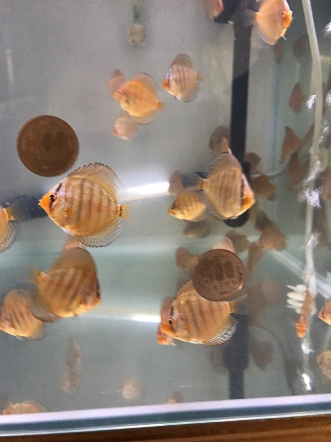500円玉稚魚1