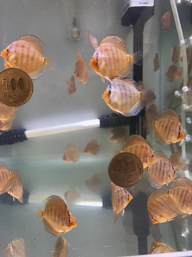500円玉稚魚2