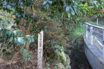 長崎の県の花木椿1