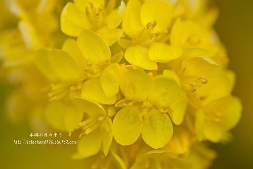 寒咲花菜3