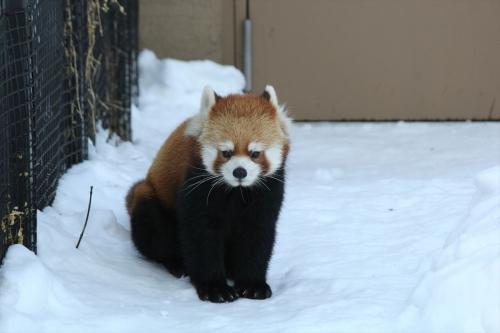 201612円山動物園 (18)