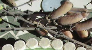 タヌキ豆 (2)_R