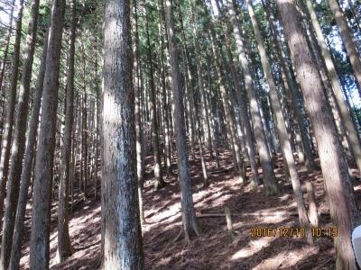 急登が少しなだらかになった杉の樹林帯