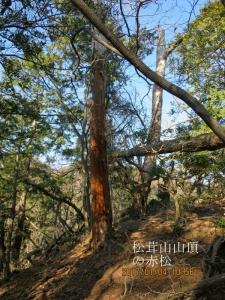松茸山山頂の赤松